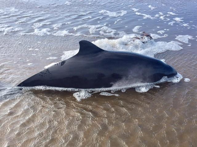 Doda tumlare utanfor nordkoster